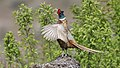 Ring-Necked-Pheasant (Male).jpg