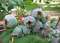 Ripening blueberries (18769419968).jpg