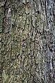 Rombergpark-100330-11377-Corylus-colurna.jpg