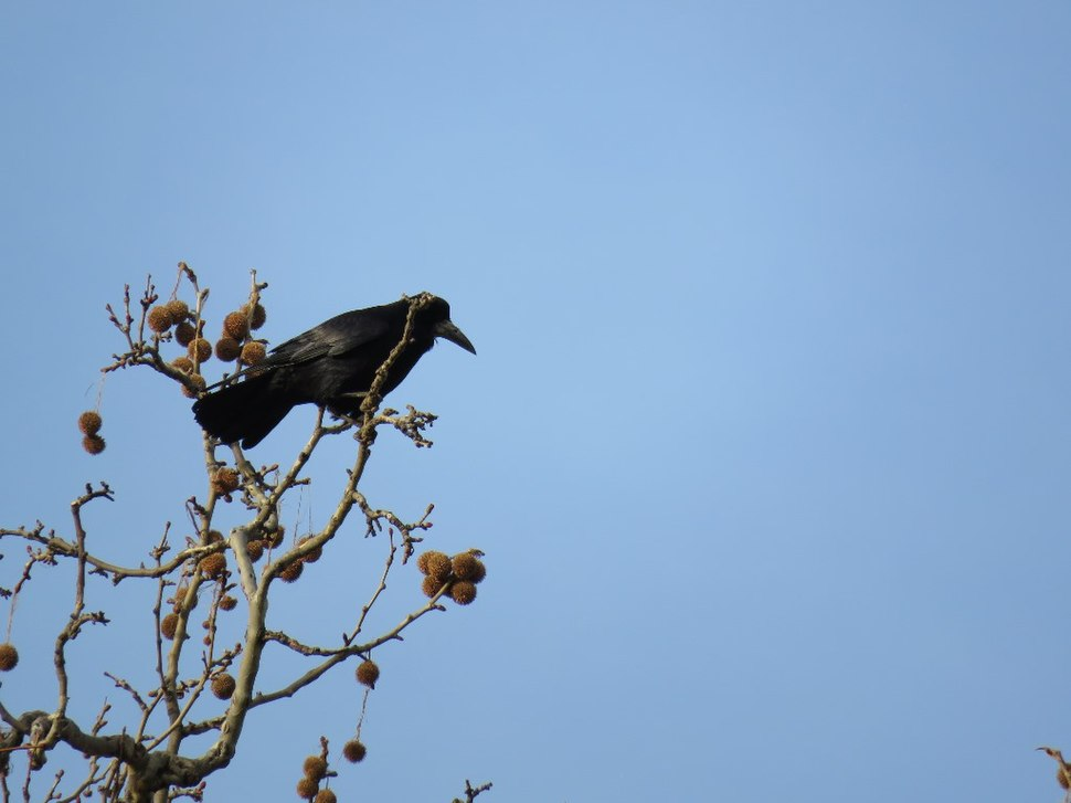 Rook in the grass 11