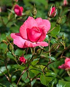 Rosa 'Bad Birnbach' (actm).jpg