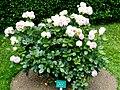 Rosa 'Eden 85' Rosengarten Köln 2017 09.jpg