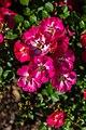 Rosa 'Pink Emily', Bad Wörishofen, Alemania, 2019-06-20, DD 28.jpg