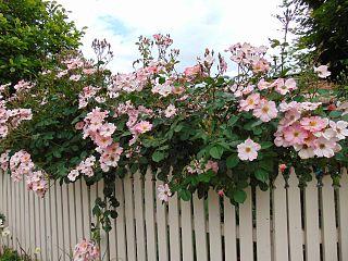 Rosa 'Sparrieshoop' 1.jpg