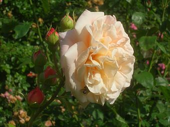 Rosa Abraham Darby 01.JPG