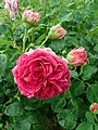 Rosa Lady of Megginch 2019-06-07 1244.jpg