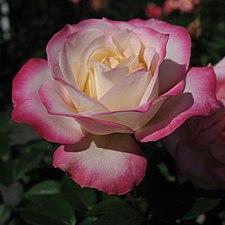 Rosa Minuette02.jpg