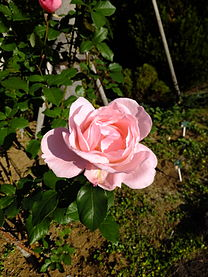 Rosa Queen Elizabeth2.jpg