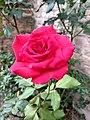 Rosa de jardín.jpg