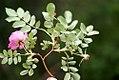 Rosa glauca inflorescence (05).jpg