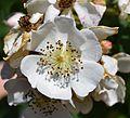 Rosa multiflora flower UMFS.jpg