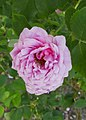 Rosarium Baden Rosa 'Alpenfee' Geschwind 1890 02.jpg