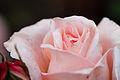Rose, Mimollet - Flickr - nekonomania.jpg
