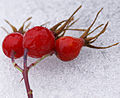 Rosehips on snow (4105494484).jpg