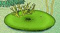 Rotadiscus grandis.jpg