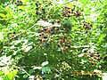 Rovo Fruticosus - panoramio.jpg