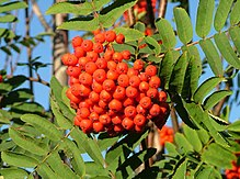 Cluster of small red fruits on a branch with foliage