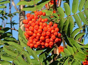 English: A rowan tree (European Rowan or Sorbu...