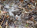Ruddy Turnstone (5293705527).jpg