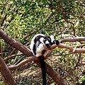 Ruffed Lemur Lemurs Park Antananarivo Madagascar - panoramio.jpg