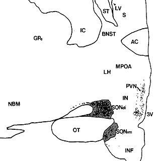 Supraoptic nucleus