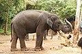 Sakrebailu elephant camp 7.jpg