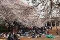 Sakura at Tamagawadai-Kouen, Denenchofu, Tokyo.jpg