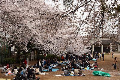 Cherry blossom picnic at Tamagawadai Park in Tokyo's Ota ward