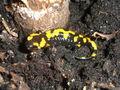 Salamander Foto Silar.jpg