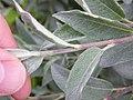 Salix lapponum Twig.JPG