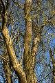 Salix matsudana A.jpg