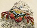 Sally Lightfood Crab, Floreana-2.jpg