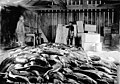 Salmon catch, interior of warehouse, Wrangell, Alaska, ca 1910 (INDOCC 488).jpg