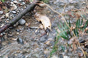Pipers Creek (Seattle) - A salmon that died after spawning in Pipers Creek in November 2013