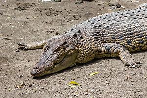 Gembira Loka Zoo - Image: Saltwater crocodile (Crocodylus porosus), Gembira Loka Zoo, 2015 03 15 01