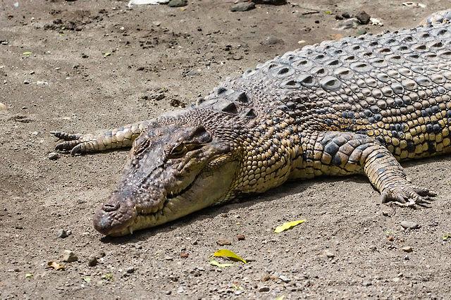 Alligators Hilton Head Island