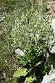 Salvia aethiopis kz03.jpg