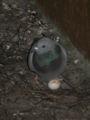 Samicka holuba skalniho na vejci.jpg