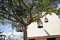 San Bartolomé - Calle Constitutión - MET - Delonix regia 02 ies.jpg