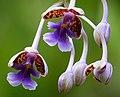 San Jose Orchid Epidendrum pseudoschumannianum - Flickr - gailhampshire.jpg