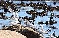 Sandwich Terns (Sterna sandvicensis), Cape Town (5294269830).jpg
