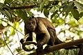 Sapajus apella apella (French Guyana).jpg