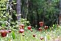 Sarracenia jonesii FWS (26943137270).jpg