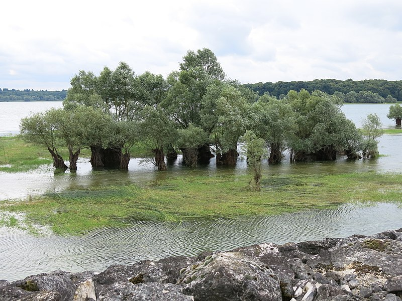 Willows on the lac du Temple (Aube, France).