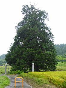 サワラ (植物)の画像 p1_10