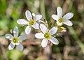 Saxifraga granulata in Aveyron (3).jpg