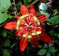 Scarlet Passion Flower. Passiflora coccinea. Ecuador endemic - Flickr - gailhampshire.jpg