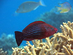 Dusky parrotfish or swarthy parrotfish (Scarus niger) (female)