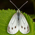 Schmetterling 6703.jpg