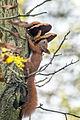 Sciurus vulgaris02(js).jpg